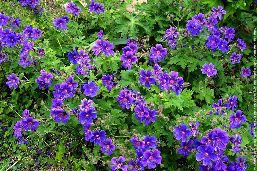 Par terre de fleurs violettes