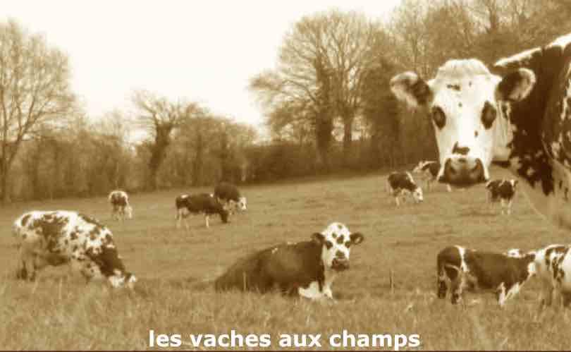 Vaches aux champs